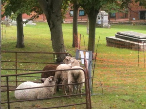 Sheep in St Nicholas Churchyard