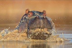 ITO-Hippo-Keith-Connelly